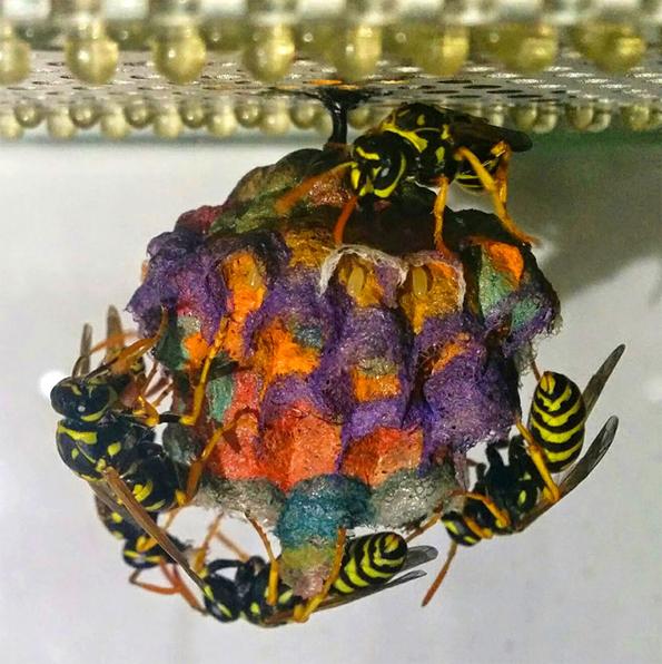 wasp-rainbow-nest-5
