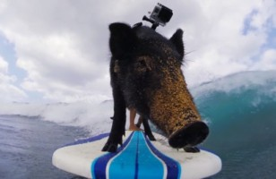 Meet Kama The Surfing Piglet