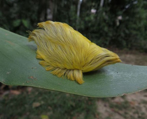 A Caterpillar That Looks Like A Toupée